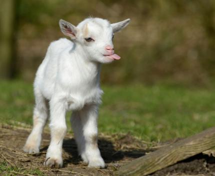 blep goat