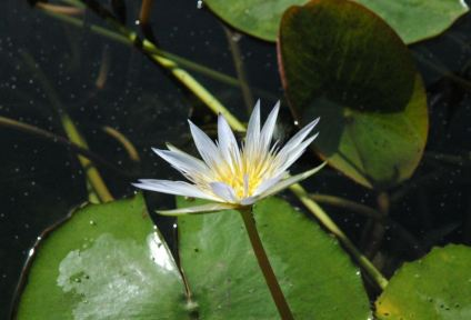 New Zealand lotus